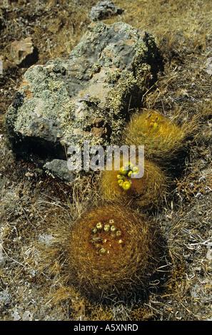 Cactuses in bloom on the site of Winchus (Peru). Cactus en fleur sur le site de Winchus (Pérou). Stock Photo
