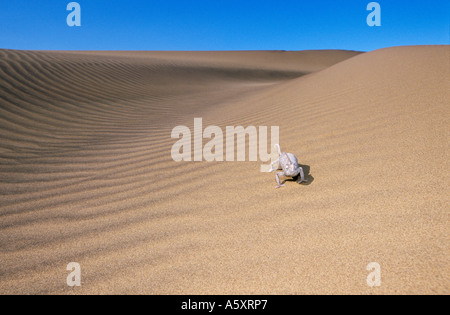 Namaqua Chamaeleon Chamaeleo namaquensis in desert environment Namib Desert Namibia - Stock Photo