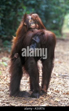 Orangutans Mother and baby Gunung Leuser National Park Indonesia - Stock Photo