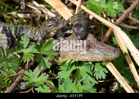 Two Babies and Head of Juvenile American Alligators in Hiding Place, Brazos Bend State Park, Texas, Alligator Mississippiensis - Stock Photo
