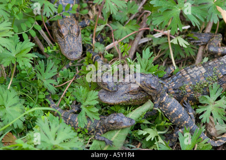 Babies and Juveniles American Alligators Hide in the Undergrowth, Brazos Bend State Park, Texas, Alligator Mississippiensis - Stock Photo