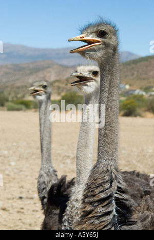 Common Ostrich, The Karoo, South Africa - Stock Photo