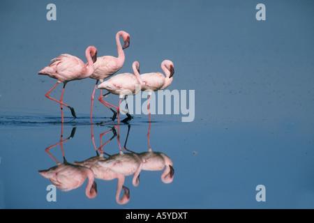 Lesser Flamingo (Phoenicopterus minor) Lake Nakuru, Kenya East Africa - Stock Photo