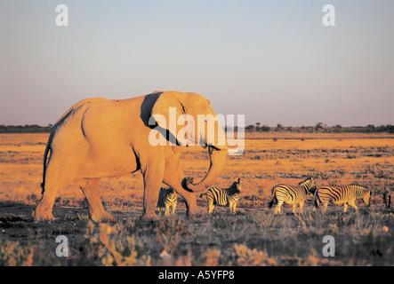 African elephant (Loxodonta africana) and zebra walking in forest, Etosha National Park, Namibia - Stock Photo
