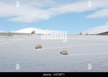 Scottish Blackface Sheep in Snow. Rural farm winter landscape scene at Gairnshiel, Aberdeenshire, Cairngorms  or - Stock Photo
