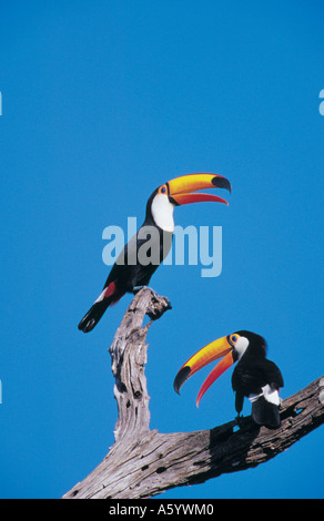 Low angle view of two Toco Toucan ( Ramphastos toco) birds perching on tree, Pantanal, Mato Grosso, Brazil - Stock Photo