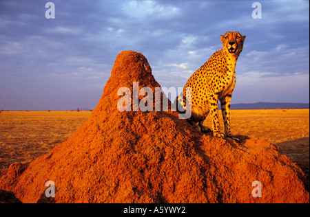 Cheetah (Acinonyx jubatus) sitting on termite mound, Namibia - Stock Photo