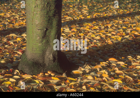 TREES AND FALLEN LEAVES THE CLOSE NORWICH CATHEDRAL NORFOLK EAST ANGLIA ENGLAND UK - Stock Photo