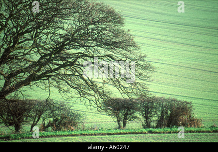 BARE TREE AND HEDGE WITH SPRING CROPS ON HILLSIDE BEHIND SHERINGHAM NORFOLK EAST ANGLIA ENGLAND UK - Stock Photo