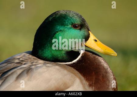Male Mallard Duck - Stock Photo