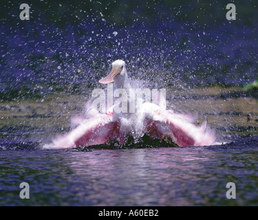 Roseate spoonbill bathing Myakka River State Park, Florida - Stock Photo
