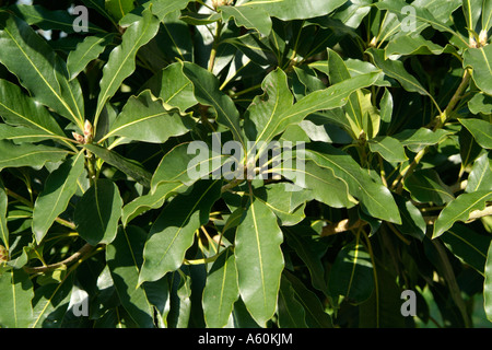 Willow Leaf Bay (Laurus nobilis) - Stock Photo