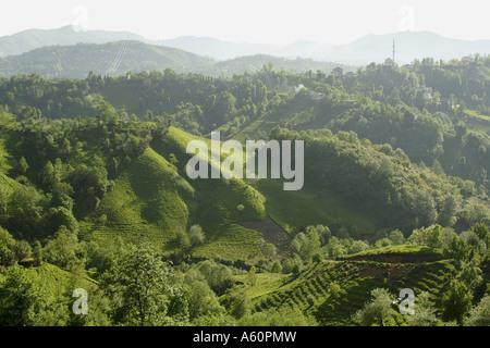 tea plant (Camellia sinensis, Thea sinensis, Camellia sinensis var. assamica, Thea assamica), tea plantations on - Stock Photo