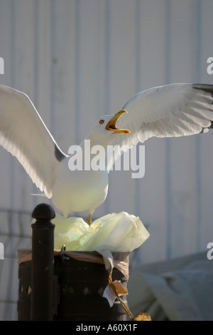 Seagull searching for food in trash - Stock Photo