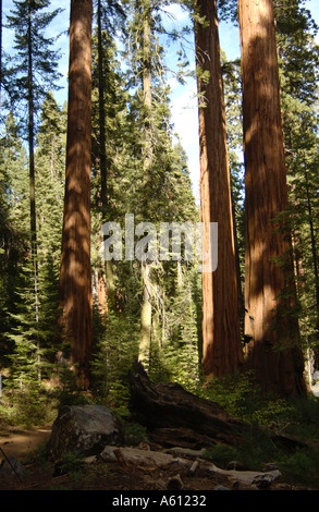 California nature forest sequoia national park USA - Stock Photo
