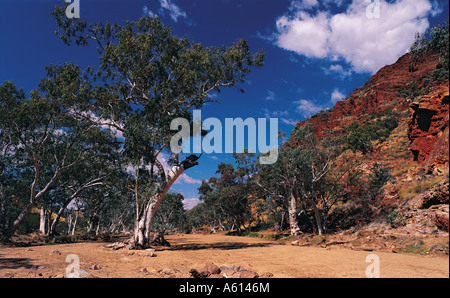 River Red Gum trees along the sandy floor of Redbank Gorge in the West Macdonnell Ranges National Park Northern - Stock Photo