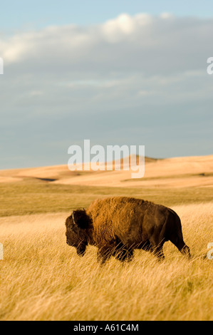 Bison in the Grasslands of Theodore Roosevelt National Park North Dakota - Stock Photo