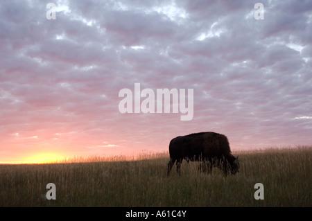 Bison at Sunset Theodore Roosevelt National Park North Dakota - Stock Photo