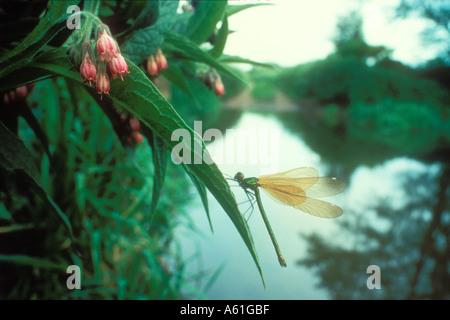 Female Banded Demoiselle on a Comfrey leaf - Stock Photo
