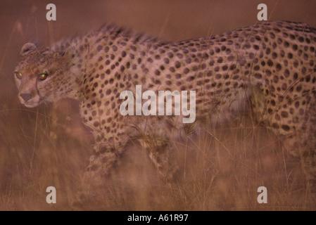 Africa Kenya Masai Mara Game Reserve Blurred image of Cheetah Acinonyx jubatas walking in tall grass at sunset - Stock Photo