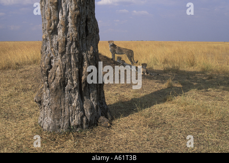 Africa Kenya Masai Mara Game Reserve Adult Female Cheetah and cubs Acinonyx jubatas resting under tree on savanna - Stock Photo