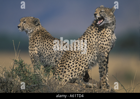Africa Kenya Masai Mara Game Reserve Adult Female Cheetah Acinonyx jubatas sitting with cubs looking out on savanna - Stock Photo