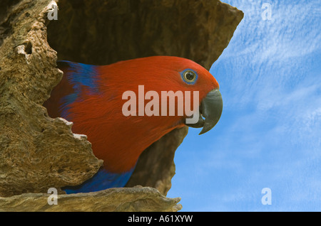 Eclectus Parrot (Eclectus roratus) adult female, perched at the nest entrence, Quensland, Australia - Stock Photo