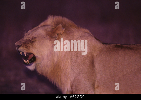 Africa Kenya Masai Mara Game Reserve Young Adult Male Lion Panthera leo snarling in tall grass at dusk - Stock Photo