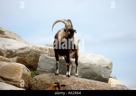 Goat on rocks boulder stone cliff rock formation rock pile rocky hill single goat horns ram Nubian Ibex goat 1 goat - Stock Photo