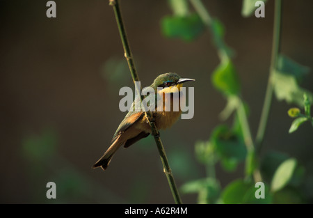 Little bee eater Merops pulsillus Lake Manyara National Park Tanzania - Stock Photo