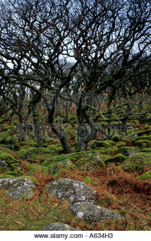 Black a Tor copse in winter Dartmoor National Park Devon England UK - Stock Photo