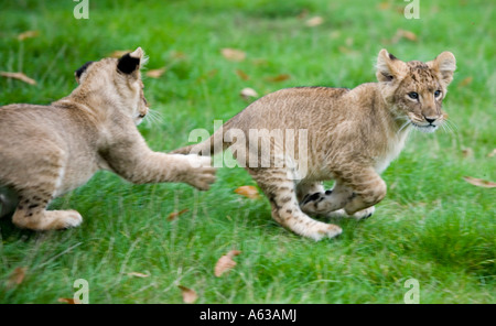 Two lion cubs running around at West Midlands Safari Park in Worcestershire UK - Stock Photo