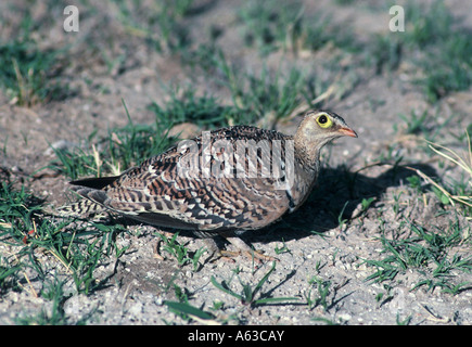 male Doublebanded Sandgrouse, Pterocles bicinctus - Stock Photo