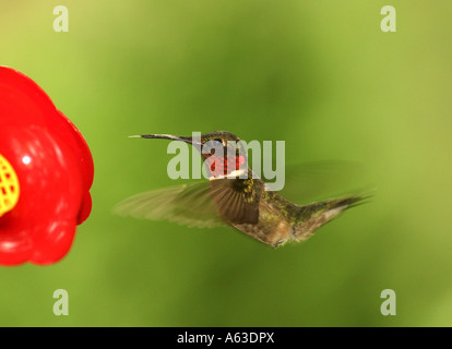 Ruby throated hummingbird drinking syrup from feeder - Stock Photo