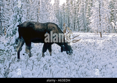 A Bull Moose foraging in the snow - Stock Photo