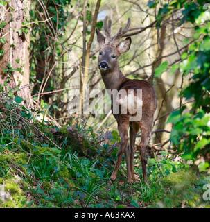Roebuck in woodland - Stock Photo