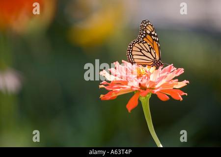 Monarch Butterfly on a Zinnia Flower - Stock Photo