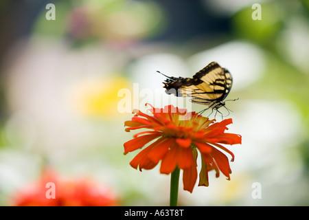 Tiger Swallowtail Butterfly on an Orange Zinnia Flower - Stock Photo