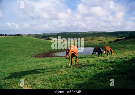 horses grazing on pasture region of connemara county of galway province of connacht ireland - Stock Photo