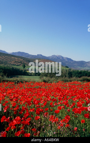 field of poppy flowers near town of granada region of andalucia province of granada spain - Stock Photo