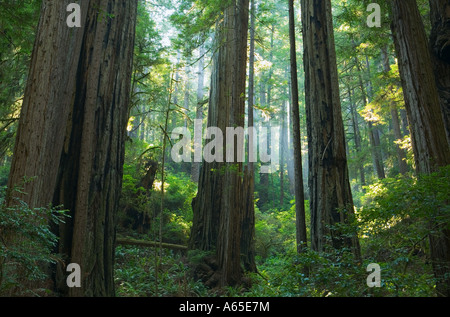 Sunlight through forest of Redwood trees Redwoods National Park Northern California Coast USA - Stock Photo