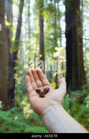 Human hand holding small pine cones in palm with giant Redwood trees behind - Stock Photo