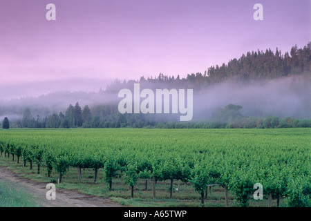 Morning fog over vineyard at Korbel Estate Champagne Cellars near Guernville Russian River Valley California - Stock Photo