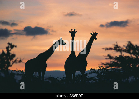 Masai Giraffe at sunset Masai Mara National Reserve Kenya - Stock Photo