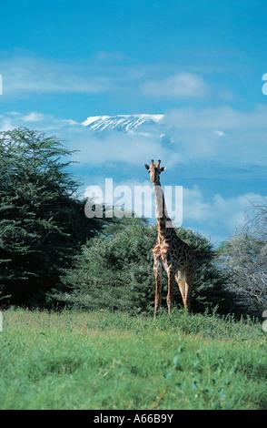 Masai Giraffe and snow dome of Mountain Kilimanjaro Amboseli National Park Kenya East Africa - Stock Photo