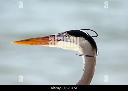 Great Blue Heron close up of head Sanibel Island Florida - Stock Photo