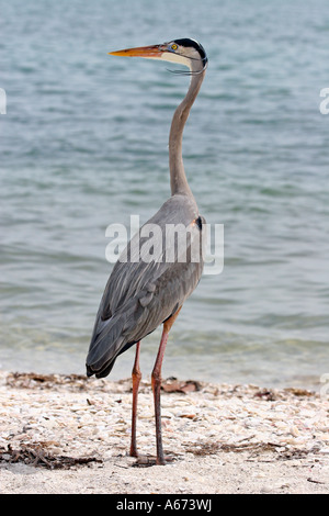 Great Blue Heron in breeding plumage looking left Sanibel Island Florida - Stock Photo