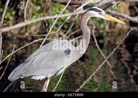 Great Blue Heron in breeding plumage Everglades Florida - Stock Photo