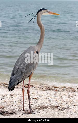 Great Blue Heron in breeding plumage looking right on Sanibel Island Florida - Stock Photo