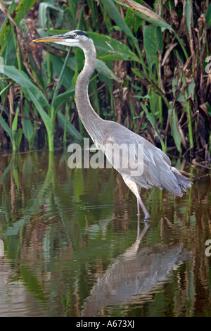 Great Blue Heron walking in canal Ft Myers Florida - Stock Photo